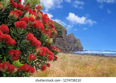 Piha Beach with pohutukawa tree flowering, New Zealand
