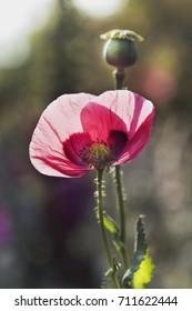 pik poppy in sunlight