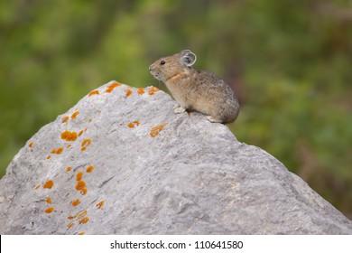 Pika on a lichen rock.