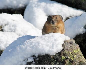 Pika on a Snowy Rock