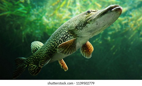 Pike fish are one of the world's finest freshwater predators and tough to reel in when fishing