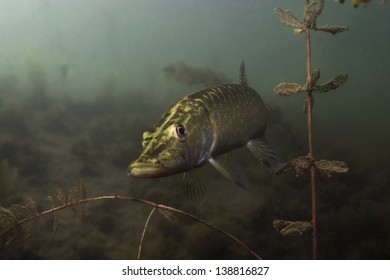 Pike, freshwater predator, looking for prey underwater, among the water plants under the surface of the lake in Serbia. / Pike Underwater