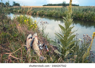 Pike and perch caught by the angler lie on the bank of the river, next to the rod.