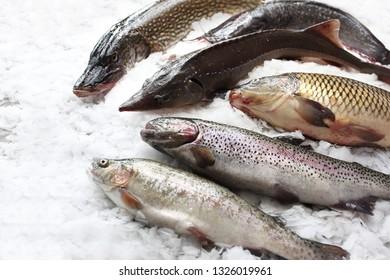 Pike, sturgeon, trout, carp, catfish. Fresh fish on ice.