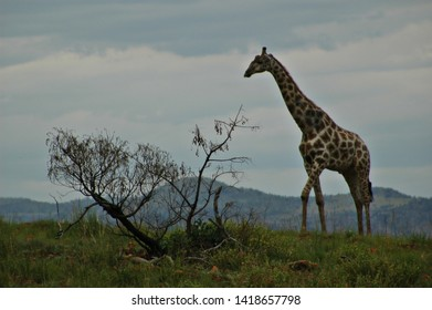 Pilanesberg National Park, Johannesburg, South Africa-July 19, 2015. Female giraffe walking across the dry plains of the African bush on a cloudy day in the Pilanesberg National game reserve.