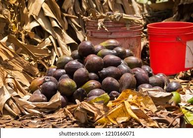 Pile of African Avocados storing close to bucket of bananas to create ethylene gas, fruit ripening gas.