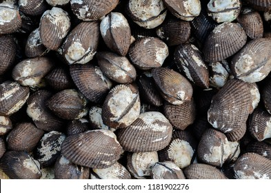 "A pile of Anadara tuberculosa also known as ""concha negra"".  They are also known as curil, piangua, chucheca and concha prieta, depending on the country of harvesting"
