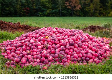 A pile of apples in an apple orchard.