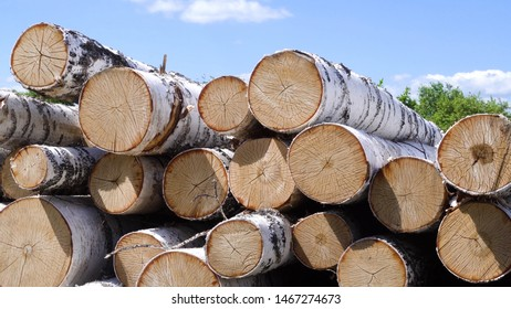 Pile of a birch firewood. Stock footage. Felled birchesCut up birch on a pile in the forest. Work in forest. Felling trees