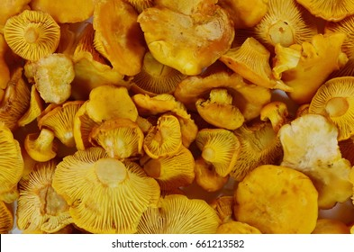 Pile of chanterelle mushrooms as a background.