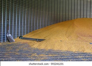 Pile of corn inside a grain bin.