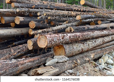 Pile of cut trees in the forest, reflecting ongoing deforestation whether the result of human impact or resulting from the mountain pine beetle infestation is possibly linked to global warming and cli