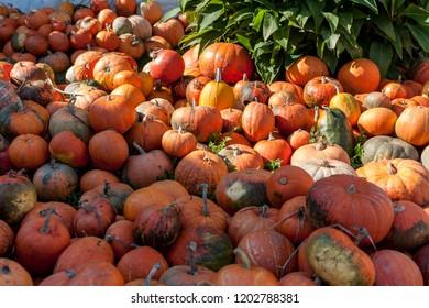 pile of diferent pumpkins in farm garden