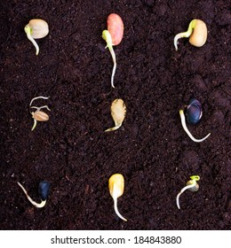 Pile of different seeds, beans  growing over soil.