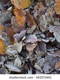Pile of fallen leaves on the ground on a frosty fall day.   Oak and maple leaves, gold, yellow, red, and brown, lie on the ground and are covered with icy frost in the early morning.