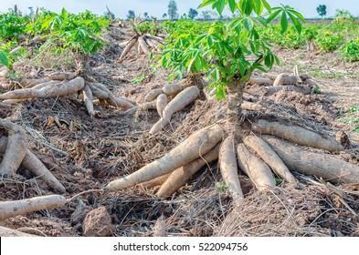 Pile of fresh cassava harvested in farmland.