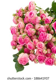 pile  of  fresh pink roses  isolated on white background