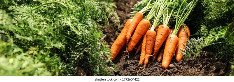 Pile of fresh ripe carrots on field. Banner design