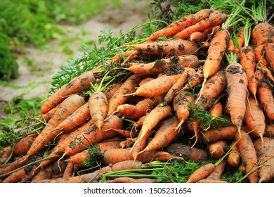 Pile of fresh ripe orange carrots in the garden,. .Healthy vegetarian food .