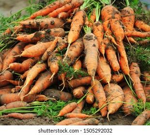 Pile of fresh ripe orange carrots in the garden. .Healthy vegetarian food .