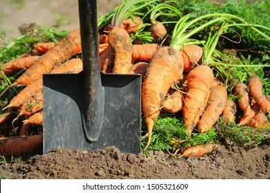 Pile of fresh ripe orange carrots and shovel in the garden,. .Healthy vegetarian food .