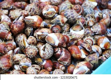 A pile of fresh spotted babylon in market, Areola babylon or Babylonia areolata.