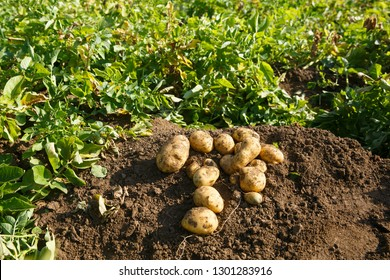 Pile of freshly dug potatoes on a field. Agriculture, industry, food production and farming concept.