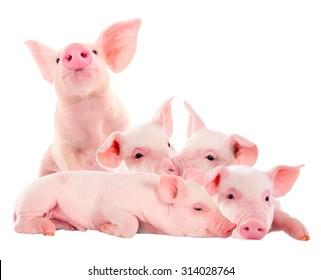 Pile of fun, rosa Schweine. Einzeln auf weißem Hintergrund. Eine Fotoserie.