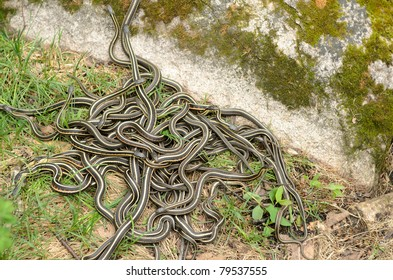 A pile of garter snakes intertwined on the ground.