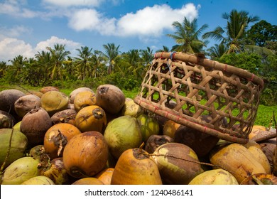 pile of harvested coconuts in plantation bali indonesia