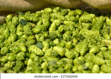 pile of harvested hop cones