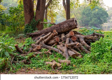 Pile or heap of cut tree trunks on the ground or soil at Acharya Jagadish Chandra Bose Indian Botanic Garden of Shibpur, Howrah near Kolkata