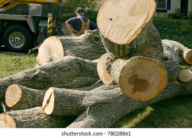 A pile of huge sections of wood from a large oak tree that was taken down, with man in background for size comparison