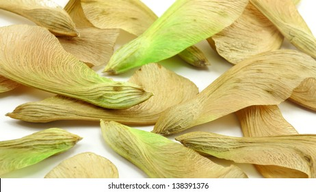 Pile of maple tree propeller helicopter seeds on white background