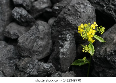 Pile of natural black hard coal for texture background with flower. Best grade of metallurgical anthracite coals often referred to as stone coal and black diamond coal