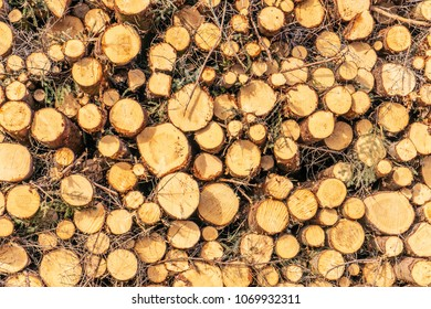 A pile of newly cut down logs. A pile of timber of different sizes