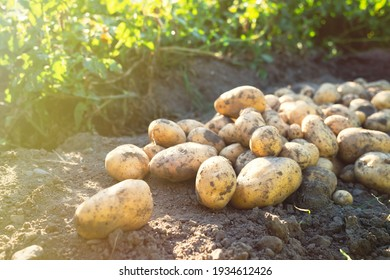 Pile of newly harvested potatoes -Solanum tuberosum on field. Harvesting potato roots from soil in homemade garden.Organic farming, healthy food, BIO viands, back to nature concept.