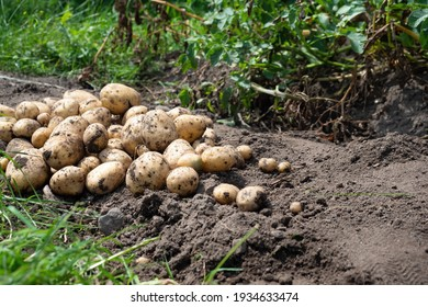 Pile of newly harvested potatoes - Solanum tuberosum on field. Harvesting potato roots from soil in homemade garden. Organic farming, healthy food, BIO viands, back to nature concept.