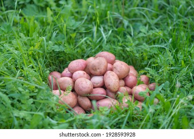 Pile of newly harvested and washed potatoes - Solanum tuberosum on grass. Harvesting potato roots in homemade garden. Organic farming, healthy food, BIO viands, back to nature concept.