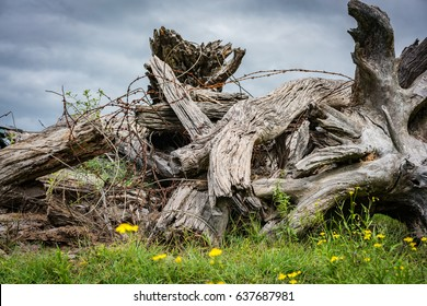 Pile of old wooden tree stumps and rusty barbed-wire. Yellow daisies in the foreground. Horizontal landscape orientation.