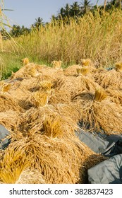 Pile of paddy bundle on the rice field after harvest.