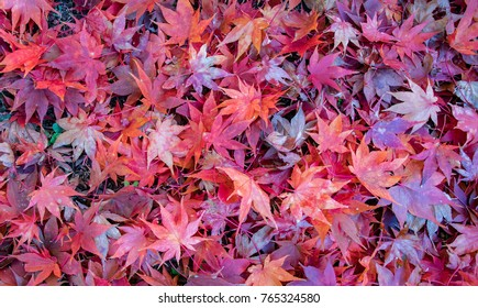 A pile of red & orange Japanese maple leaves on the ground.  Bright and colorful.
