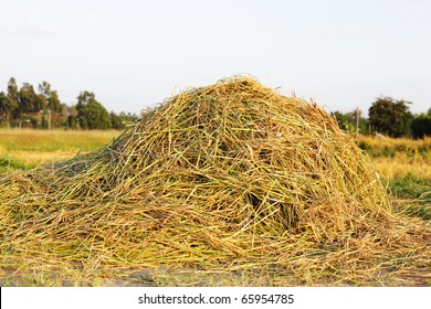 Pile of Rice Hay