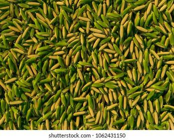 Pile of ripe corn maize food