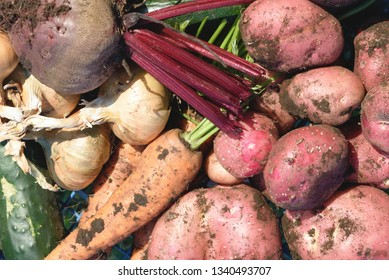 Pile of rustic organic vegetables including carrots potatoes and beetroot covered in fresh earth in natural sunlight