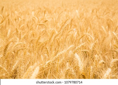 Pile of straw, Straw bales for agriculture, Hay piles, large square bales, Feast of Weeks, Jewish  Israeli holiday of  Shavuot traditinal symbol,   a field after harvest time