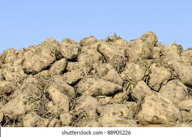 pile of sugar beets on harvest day