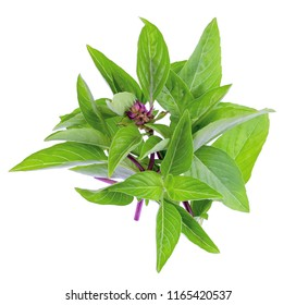 Pile of Sweet Basil or Thai basil isolated on white background.