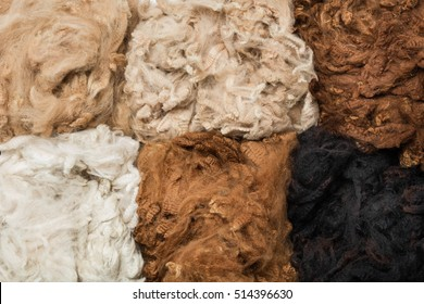 Pile of unprocessed high quality colorful alpaca wool. Alpaca (Vicugna pacos) wool background