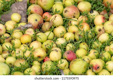 A pile of wild apples on green grass. The apples are greenish yellow, starting to turn red.